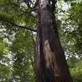 Photos: 落雷の木