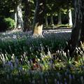 ツルボ咲く並木道