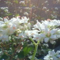 蕎麦の花2