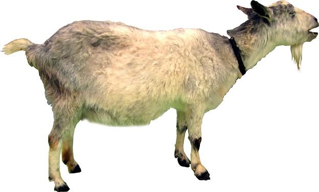 山羊縮小用4
