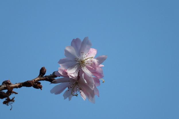 Photos: DSCF0326 十月桜