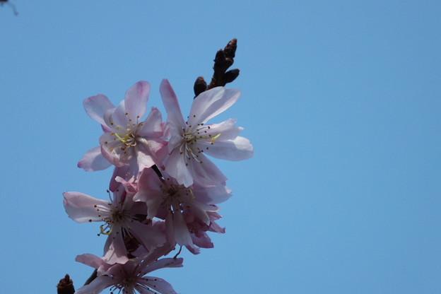 Photos: DSCF0328 十月桜