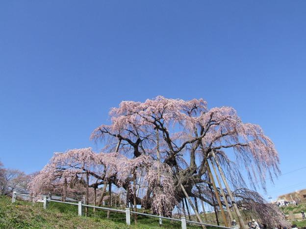 0047 三春滝桜