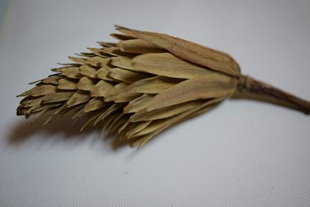百合の樹(ユリノキ)の集合果