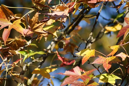 紅葉葉楓(モミジバフウ)