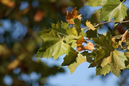 紅葉葉鈴懸の木(モミジバスズカケノキ)