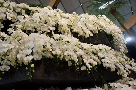 胡蝶蘭の階段