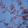 Photos: 花の木(ハナノキ)