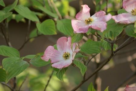 紅花花水木(ベニバナハナミズキ)