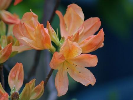 レンゲツツジ 花