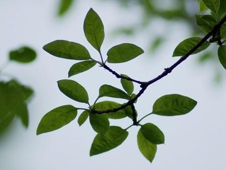 ヒトツバタゴ 葉