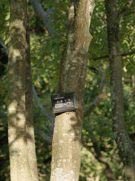 トネリコ 樹皮 別個体