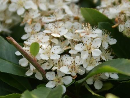 トキワサンザシ 花