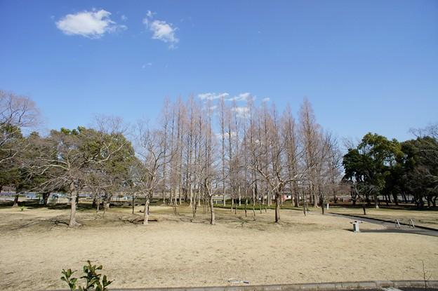 桜土手からメタセコイア