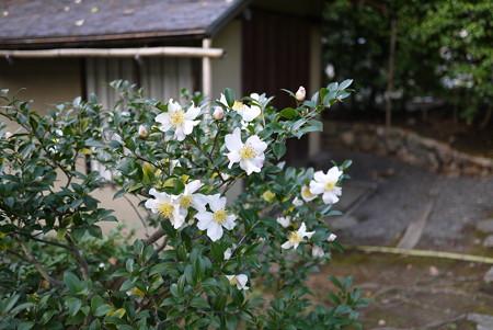 高台寺の白い花
