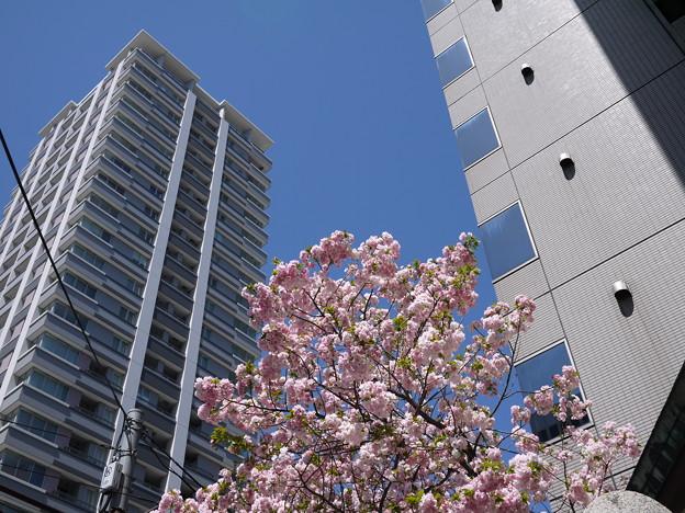 ビルの間の八重桜