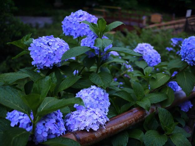 紫陽花#4