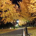 Photos: 保土ヶ谷公園のイチョウ並木ライトアップ(2013/11/29)