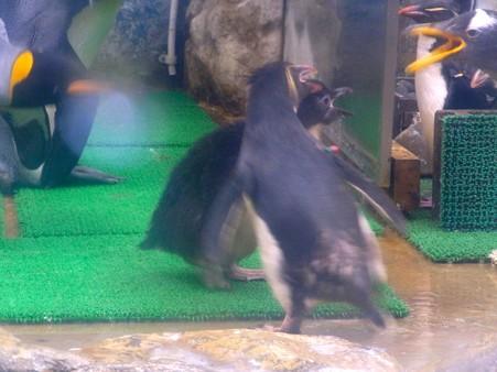 20120715 松島 イワトビおちびちゃんのおでかけ07
