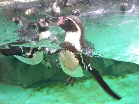 20120715 松島 ペンギンプール06