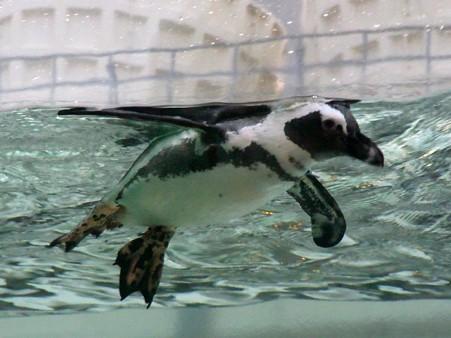 20120729 サンシャイン ペンギンアクアリング04
