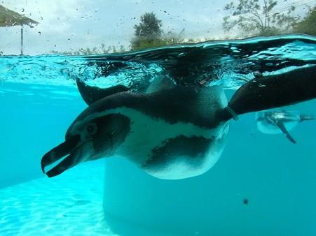 20120812 王子 水中フンボルト05