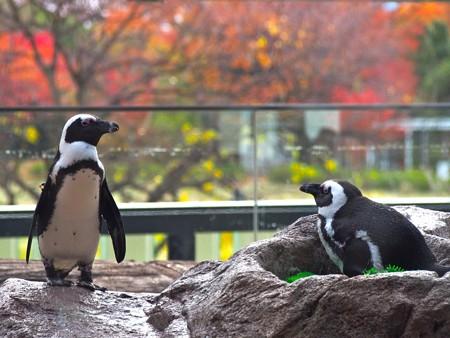 20121124 京都水 紅葉ペンギン
