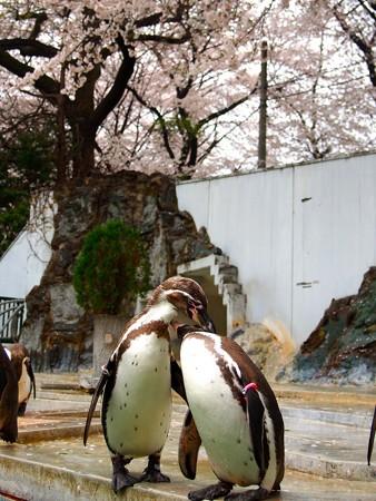 20130330 羽村 桜フンボ06