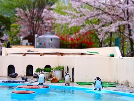20130406 京都 桜のペンギンプール05
