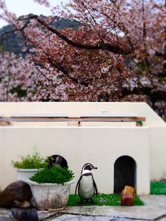 20130406 京都 桜のペンギンプール03