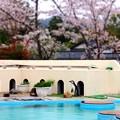 20130406 京都 桜のペンギンプール02