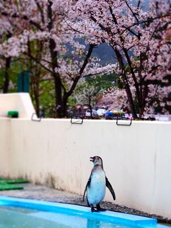 20130406 京都 桜とススキ06