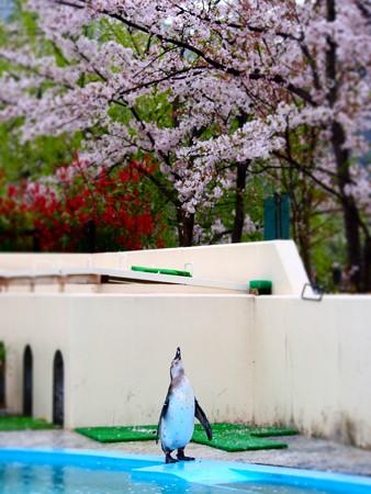20130406 京都 桜とススキ05