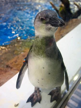 20130406 京都水 窓際のペンギン達06