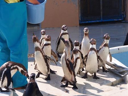 20130413 志摩 ペンギンズ14