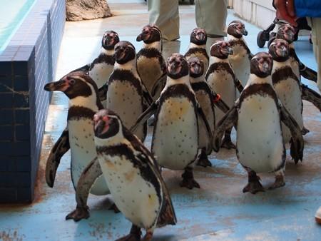 20130414 鳥羽 ペンギンのお散歩05