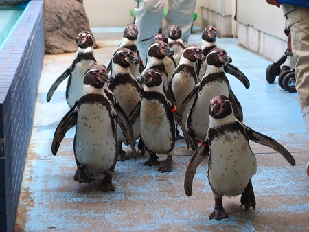 20130414 鳥羽 ペンギンのお散歩04