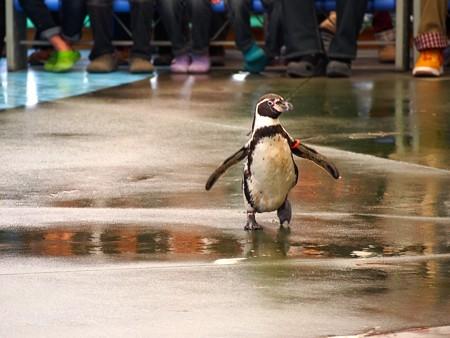 20130414 鳥羽 ペンギンのお散歩17