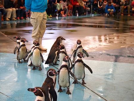 20130414 鳥羽 ペンギンのお散歩15