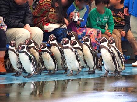 20130414 鳥羽 ペンギンのお散歩11