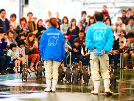 20130414 鳥羽 ペンギンのお散歩09