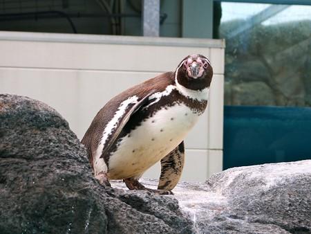 20130414 鳥羽 よりぬきペンギン10