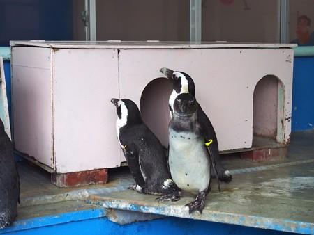 20130414 二見 ペンギン舎07