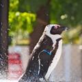 Photos: 20130831 8月最後のペンギンプール03