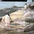 Photos: 20130905 海遊館 イワトビプール04