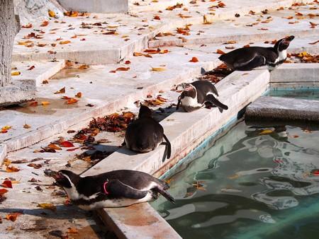 20131117 羽村 秋のペンギン達02