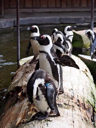 20131208 神戸 ペンギン池02