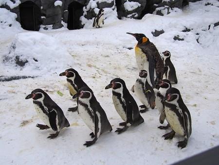 20140124 旭山 ペンギンの散歩02