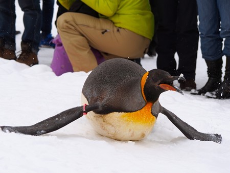 20140124 旭山 ペンギンの散歩12