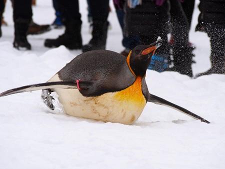 20140124 旭山 ペンギンの散歩11